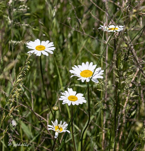 daisies 060620.jpg