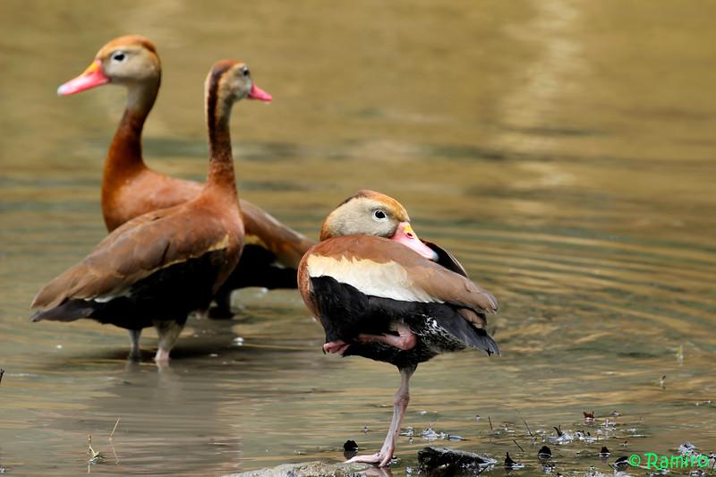 Whistling Duck IMG_5274.jpg