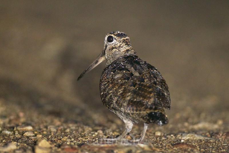 Eurasian Woodcock / Sloka / Scolopax rusticola