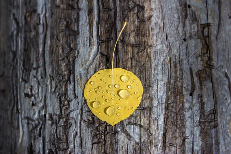 Drops of Morning dew on Aspen Leaf
