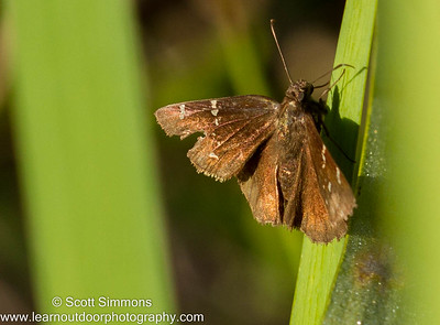 Southern Cloudywing Skipper