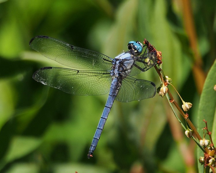 Great Blue Skimmer, male