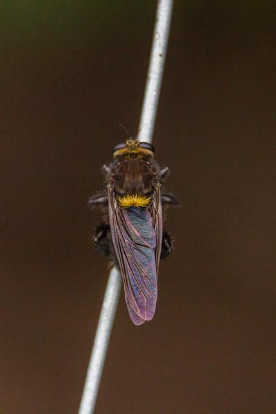 Beelzebub Bee-Killer - Mallophora leschenaulti