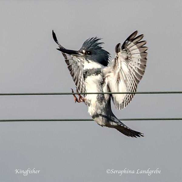 _DSC0289Kingfisher Landing.jpg
