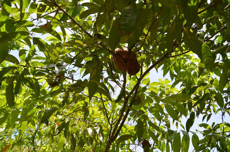 DSC_7130-tarsier-high-in-the-tree.JPG