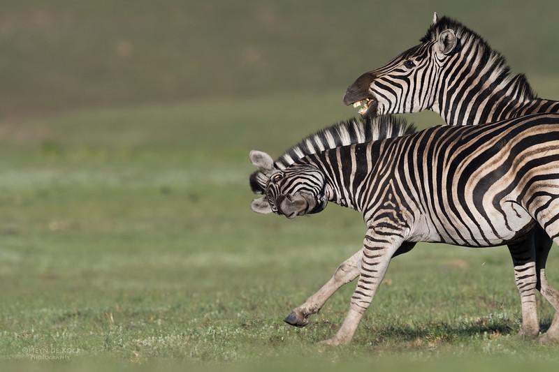 Plains Zebra, Goldengate NP, FS, SA, Oct 2016-5.jpg