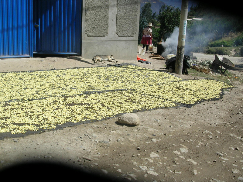 Corn spread out to dry.