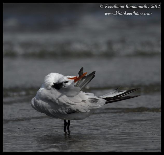 Royal Tern, Coronado Ferry Landing, San Diego County, California, February 2012