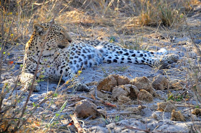 EPV0462 Leopard Resting on Ground.jpg