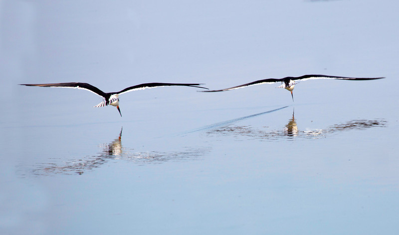Two Black Skimmers, skimming in tandem.