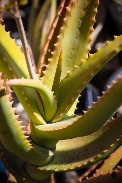 Aloe hildebrandtii