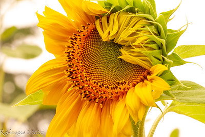 Sunflowers 20200912