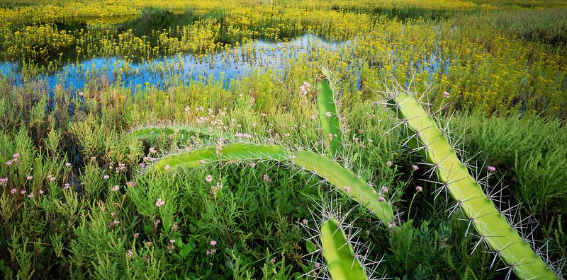 Tamualipas, Mexico / Laguna Madre, El Mezquital, Gulf of Mexico,  Cactus, Acanthocereus tetragonus, amid flowering flaveria, Flaveria anomala (yellow) & pink floss plant, Ageratum sp. 102003P7
