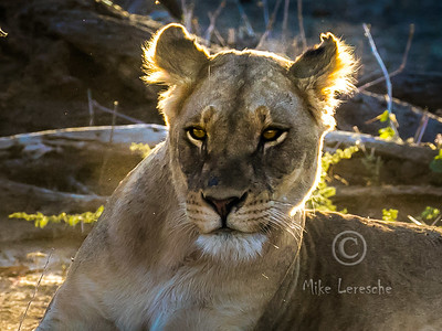 Predators of Kruger