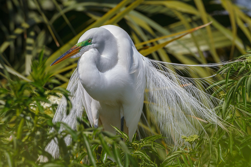 A Great Egret in breeding colors at Gatorland