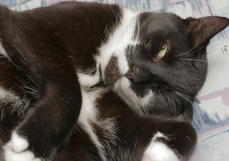 Mink, the original lazy cat