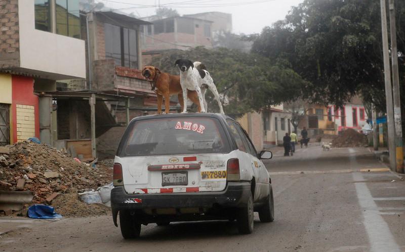 . Dogs stand on a moving taxi,  Villa Maria Del Triunfo, Lima, Peru, July 11, 2013. REUTERS/Mariana Bazo