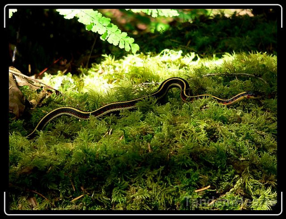 This Western Terrestrial Garter snake didn't mind posing for a photo.