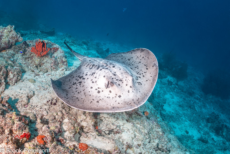 Marbled Ray