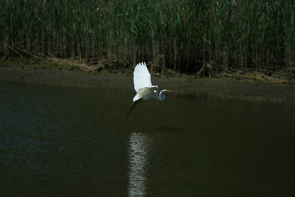2008 - The Egret With the Tufts