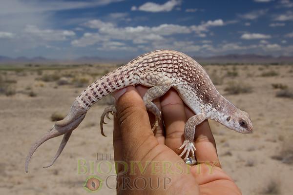 Three-Tailed Lizard