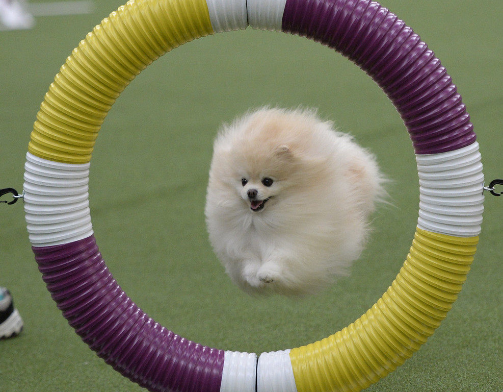 . A Pomeranian in the Agility Ring during the first-ever Masters Agility Championship on February 7, 2014 in New York at the 138th Annual Westminster Kennel Club Dog Show. Dogs entered in the agility trial will be on hand to demonstrate skills required to negotiate some of the challenging obstacles that they will need to negotiate.      TIMOTHY A. CLARY/AFP/Getty Images