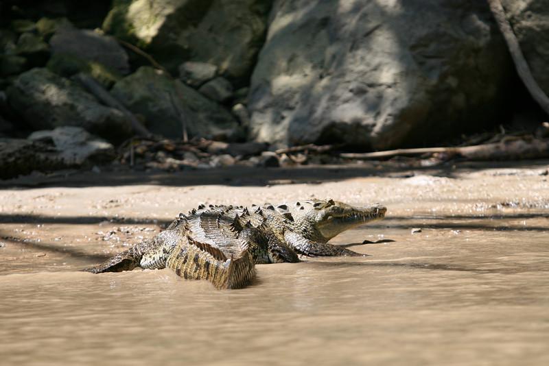 crocodile / cocodrilo / crocodile / Krokodil