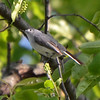 Blue-gray Gnatcatcher (?)