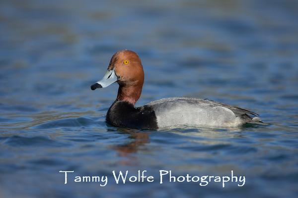 Duck, Redhead