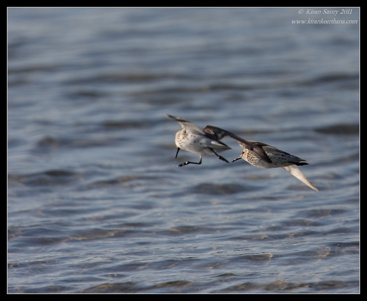 Western Sandpipers in flight, Robb Field, San Diego River, San Diego County, California, July 2011