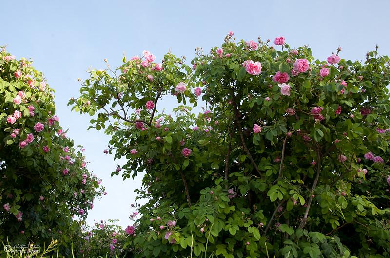 Roses Water (63)-Aljabal Alakhdhar-Oman.jpg