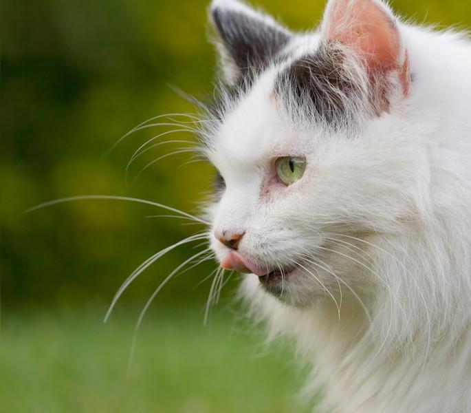 Turkish Van Cat Called Nimbus_4995459060_o_8179358649_o.jpg