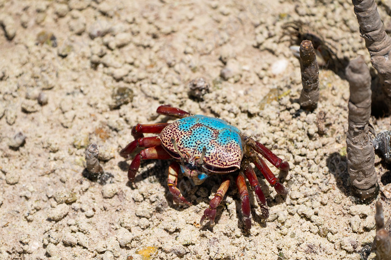 Fiddler Crab (Uca tetragonon) without fully grown claws, Curieuse Island, Seychelles.jpg