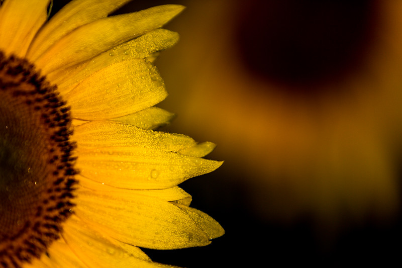Mike Maney_Sunflowers-146.jpg