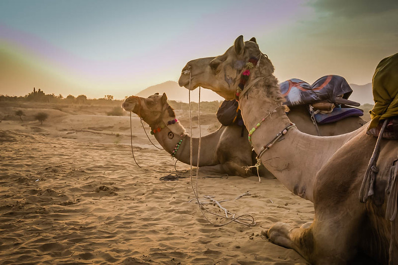 Camels in Thar Desert, Pushkar, India