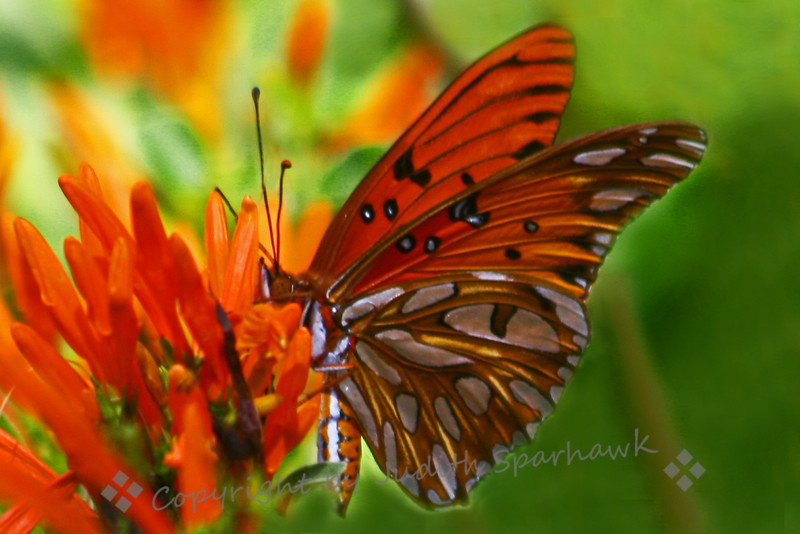 Gulf Fritillary Butterfly ~ This butterfly was seen at the Huntington Library Gardens in the Pasadena, CA area.