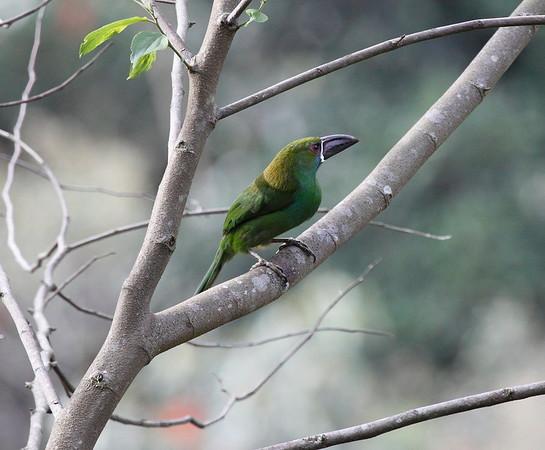 Toucanette Ecuador