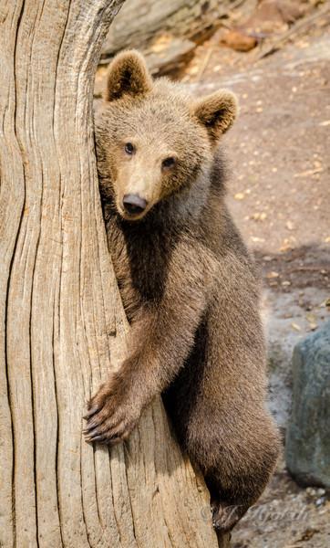 Brun bjørn, brown bear - (Ursus arctos)