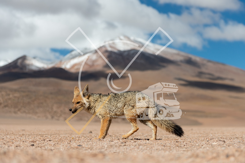 Close encounter with a resting the culpeo (Lycalopex culpaeus) or Andean fox, in his typical territory of the Altiplano landscape at the Siloli desert in Eduardo Avaroa Andean Fauna National Reserve