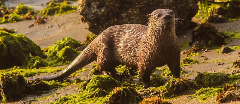 Bodega Bay Seaweed King