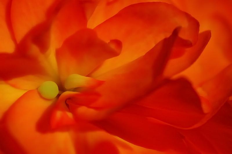 Varennes, Qc, Canada: fleur de Begonia / Begonia flower
