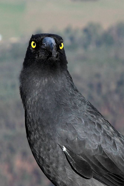 This black bird at the View Point lookout gave me a very severe look.