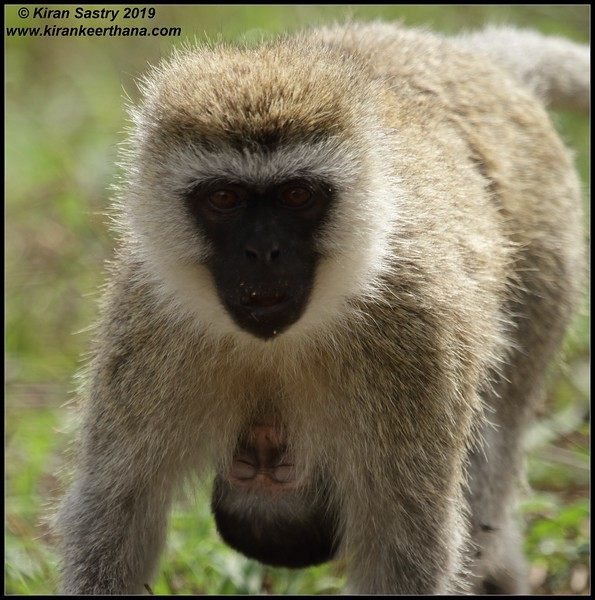 Vervet Monkey, Ngorongoro Crater, Ngorongoro Conservation Area, Tanzania, November 2019