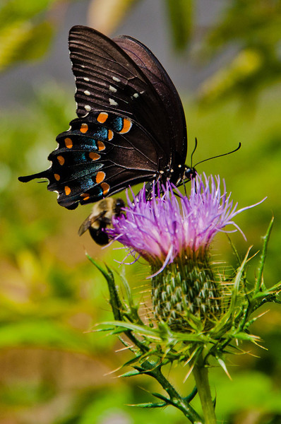 Swallowtail Butterfly on Thistle, Shenandoah National Park, Virginia