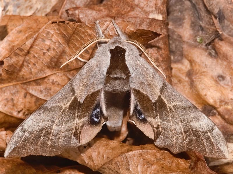 Mountain Prairie Sphinx Moth