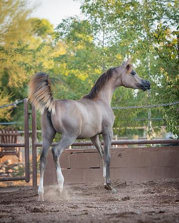 JK Arabians