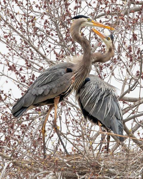 Heron Courtship (2).jpg