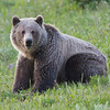 Grizzly Bear - Kananaskis
