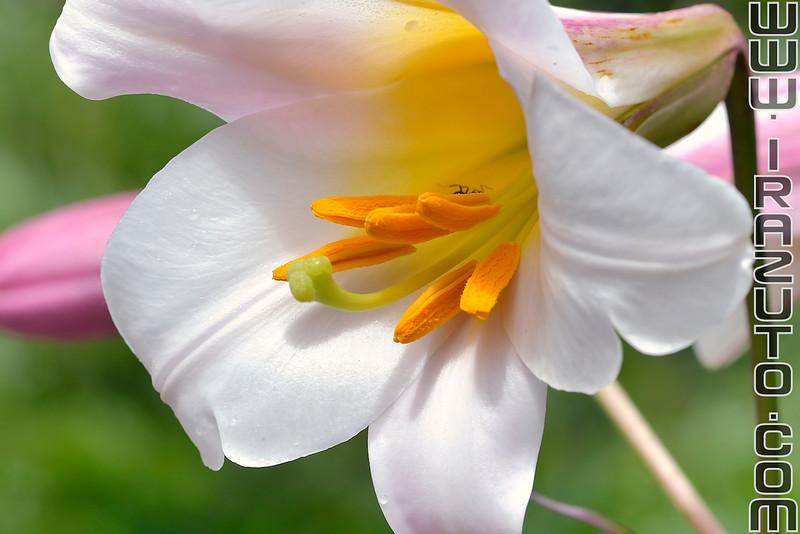 Lys royal - Lilium regale