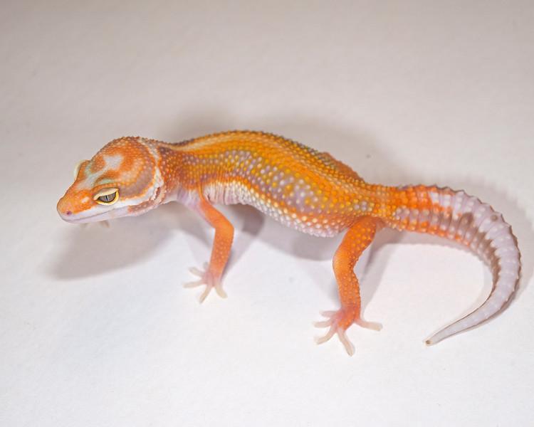 LG4515, $100, Acid Rain, TSF, 16 grams, sold Tulsa Reptile show, Cory